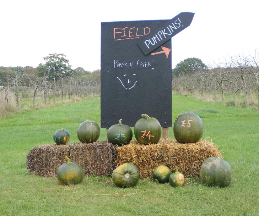 Norwich pumpkin picking
