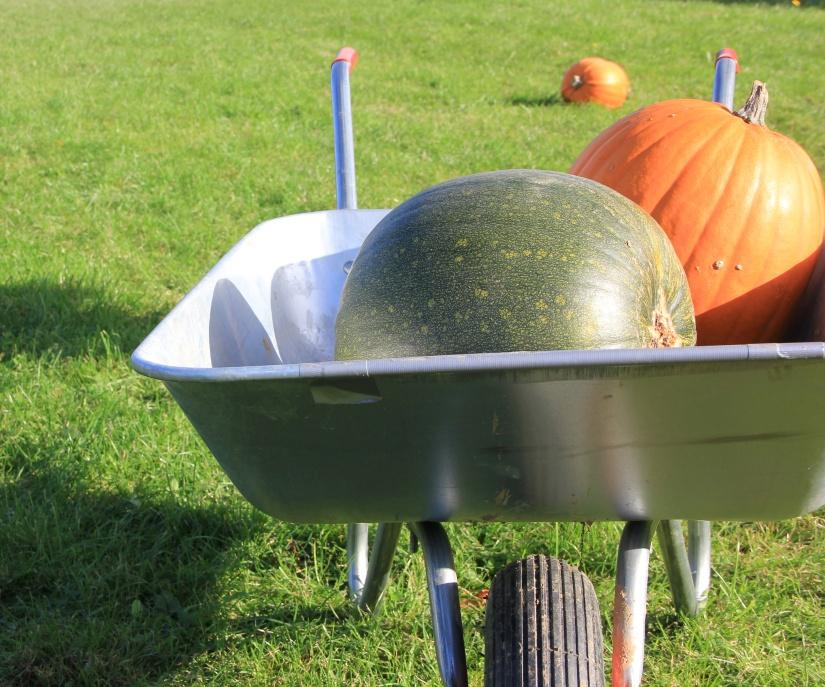 Pumpkin picking Norwich
