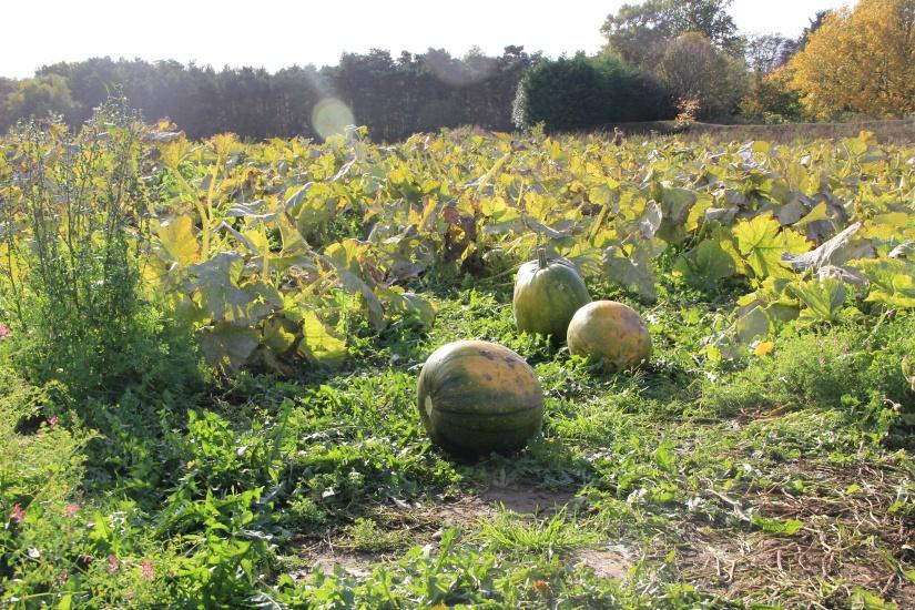Pumpkin Picking | White House Farm PYO
