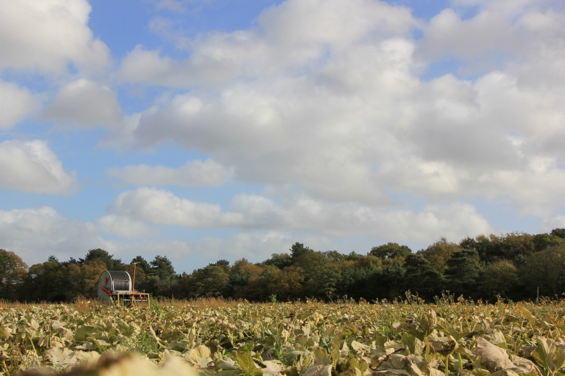 Where to pick pumpkins in Norwich - White House Farm