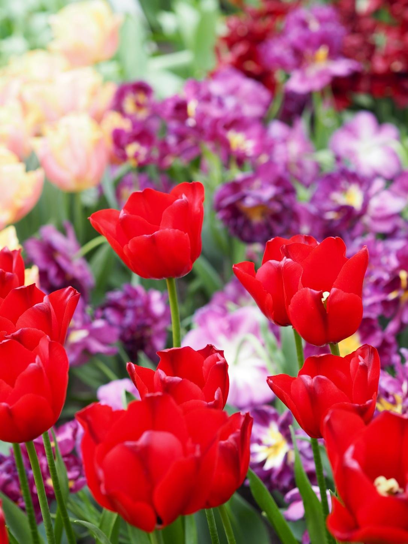 Keukenhof Lisse tulips