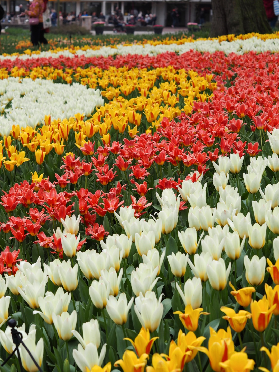 Tulips in Keukenhof Holland