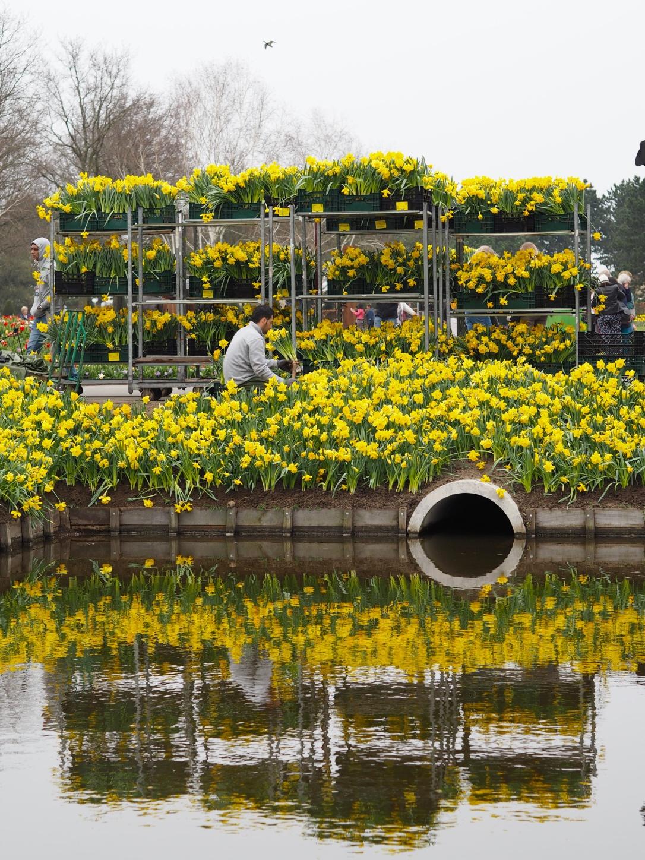 Keukenhof Lisse daffodils